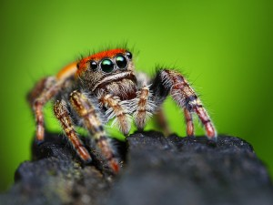Phidippus whitmani jumping spider closeup with blurred background ** Note: Soft Focus at 100%, best at smaller sizes